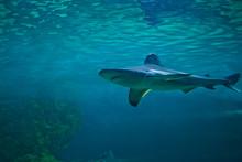 Great White Shark At The Madrid Zoo Aquarium
