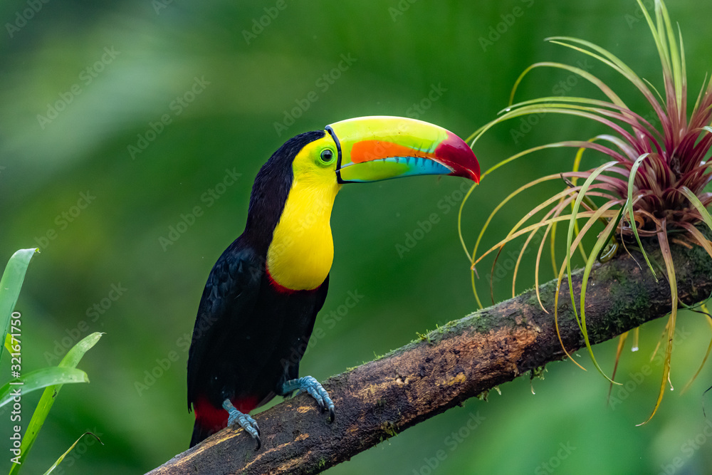 Fototapeta Ramphastos sulfuratus, Keel-billed toucan The bird is perched on the branch in nice wildlife natural environment of Costa Rica