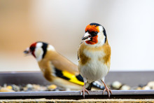 Two European Goldfinches, Carduelis Carduelis, Sitting On A Feeder Where They Found Their Food For The Winter