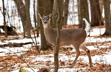 White Tailed Deer, Doe And Fawn Near City Park In Wisconsin