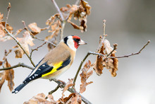 Goldfinch, Carduelis Carduelis, Hidden From Predators Among Dry Leaves Of Tree Branch