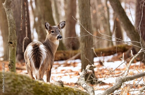 Photo White tailed deer, doe and fawn near city park in Wisconsin