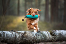 Red Toller Retriever Dog Jumpi...