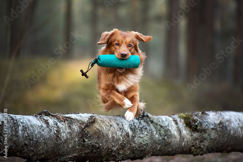 Photographie red toller retriever dog jumping over a tree with a hunting dummy in mouth, hunt