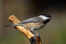 Chickadee On A Branch. Chickadees Are A Group Of North American Birds In The Tit Family Included In The Genus Puerile. Species In North America Are Called Chickadees, And Called Tits Else Ware.