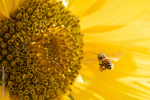 Bee is collecting nectar on sunflower. Canvas Print