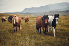 Icelandic Horses In The Field ...