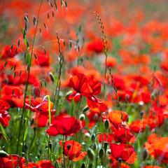 Panel Szklany Podświetlane Ogrody Coquelicots, fleur rouge dans les champs au printemps.