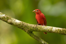 The Summer Tanager (Piranga Rubra) Is A Medium-sized American Songbird. Formerly Placed In The Tanager Family (Thraupidae)