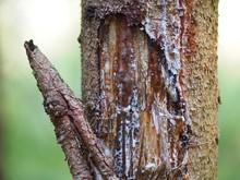 Verletzung - Harz Verschließt Wunde In Der Baumrinde