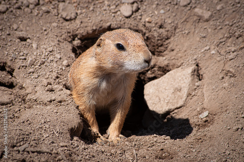 Fotografie, Tablou Prairie Dog coming out of den in zoo in Upstate NY