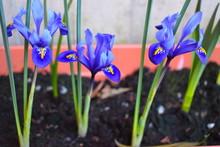 Early Flowering Iris Reticulat...