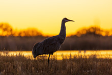 Sandhill Crane Bird Standing I...