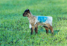 Lambing Time In Winter.  An Early Lamb Born In January And Wearing A Little Jacket For Protection.  Facing Left.  Horizontal.  Space For Copy