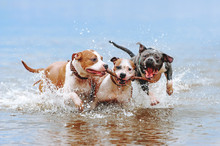 A Group Of Strong American Staffordshire Terriers Play In The Water With A Stick. Three Dogs Jumping Along The Beach