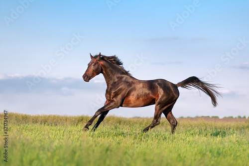 Slika na platnu Young brown horse galloping, jumping on the field on a neutral background
