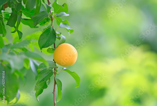 Ripe yellow apricots on the branches