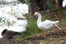 White Domestic Farm Pond Goose Stretching .