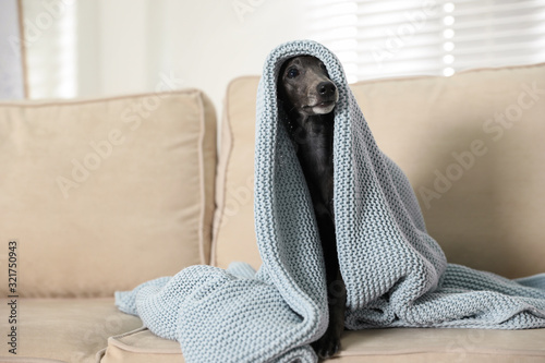 obraz PCV Italian Greyhound dog covered with plaid on sofa at home