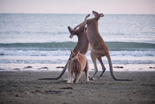 Wild Kangaroos And Wallabies On The Beach At Cape Hillsborough, North Queensland At Sunrise As A Family And Fighting