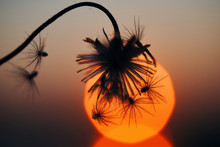 Silhouetted Wilted Dry Flowers...