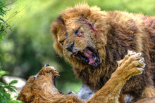 Incredible Fight Of Two Males Lions