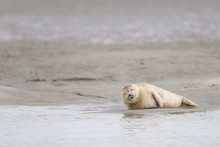 Cute Baby Seal Resting On The Beach