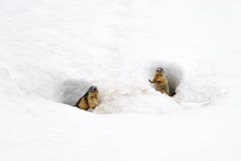 Group Of Marmots In The Snow