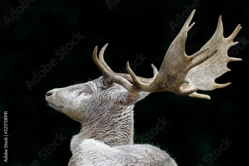Photo White deer with dark forest in background
