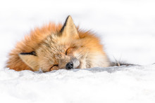 Japanese Red Fox Sleeping In The Snow