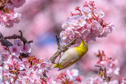 green and yellow bird Japanese zosterops in cherry bloom (white eyes)