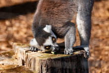Ring Tail Lemur - Part Of The ...