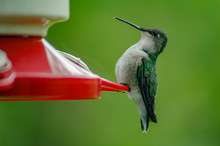 Perched Hummingbird On A Feede...
