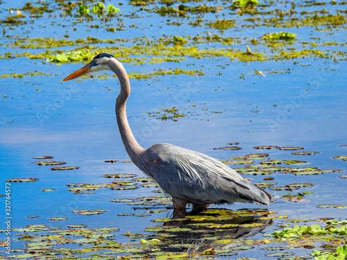 Great Blue Heron Wading in Florida