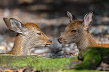Two Young Japanese Sika Deer Fawn Portrait Resting In The Forest