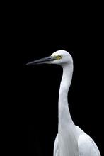 White Egret Portrait With Dark Background