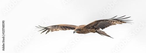 Fototapeta Black kite flying