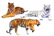 Set Of Realistic White And Orange Bengal Tigers