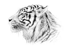Hand Drawn Tiger Head Illustra...
