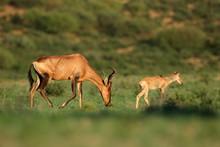 Red Hartebeest Antelope (Alcel...