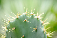 Needles Of Green Cactus Close Up