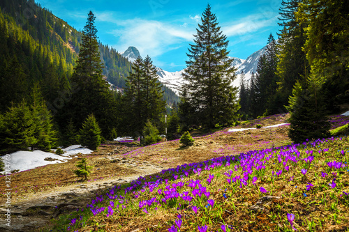 Fotografie, Obraz Purple crocus flowers in the forest glade, Fagaras mountains, Romania