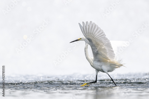 Hunting and dancing on the surface of water white egret portrait Canvas Print