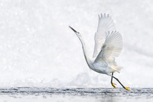 White Egret Flying With A Whit...