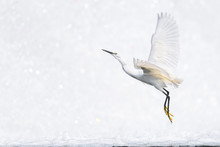 White Egret Flying With A White Waterfall Background