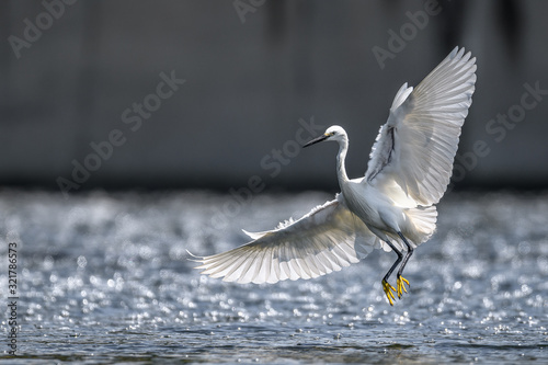 White egret flying and landing on the surface of water Canvas Print