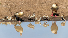 Familiy Of Egyptian Geese Refl...