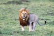 Adult male lion baring his teeth