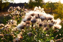 Outdoors Autumn Fluffy Thistle Or Cirsium Heterophyllum Flowers Close Up In The Contast Natural Light. Sonchus Oleraceus On Blurred Background. Beautiful Blooming Wildflower.