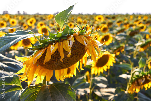 Cuadros en Lienzo Wilting sunflower bowing its head down in the final days of summer